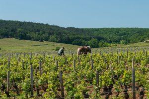 bordeaux wine, organic gapes
