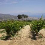Greek organic grapes