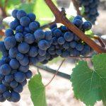 Great Red Wines of Austria – Biokult