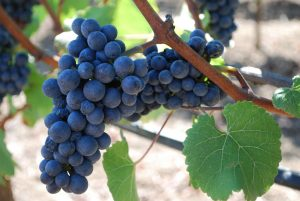 Red Wines of Austria