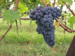 groppello-grape