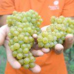 Pizzolato Italian Organic Wine Harvest 2017