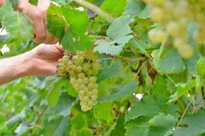 Pizzolato Italian organic wine harvest