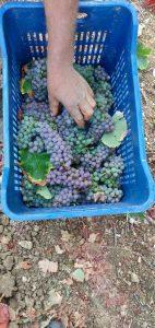 Domaine Gioulis Organic Harvest 2019 2