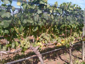 Inkarri White Grapes on the Vine