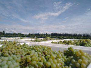 Inkarri Grapes Early Argentina Harvest