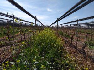 Valerian used in Biodyamic Wine