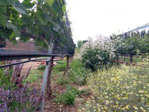 Chamomile used in Biodynamic Wine
