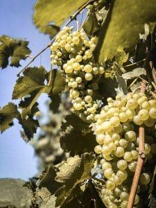 Pizzolato Prosecco Glera Grapes